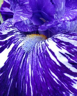 Blue Beard Iris Poster
