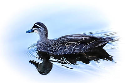 Blue Billed Duck Poster by Kaye Menner