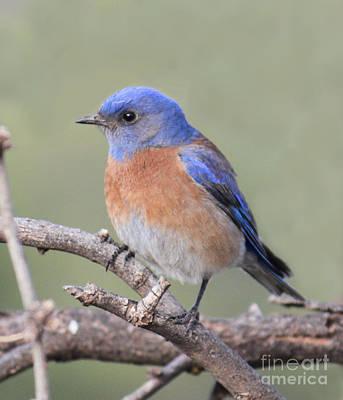 Blue Bird At Sedona Poster