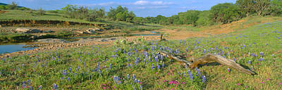 Blue Bonnets In Hill Country, Willow Poster
