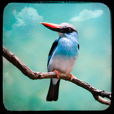 Poster featuring the photograph Blue Breasted Kingfisher by Gary Heller