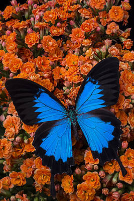 Blue Butterfly On Orange Kalanchoe Poster