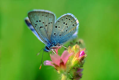 Blue Butterfly Poster by Wernher Krutein