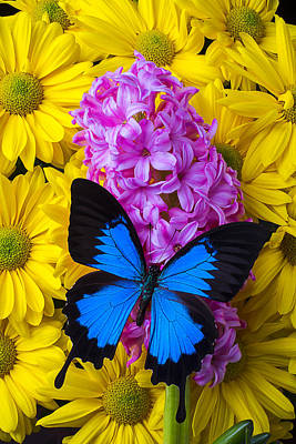 Blue Butterfly With Hyacinth Poster by Garry Gay