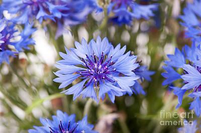 Blue Cornflower Flowerhead Detail  Poster