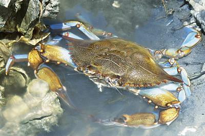 Blue Crab Callinectes Sapidus Poster