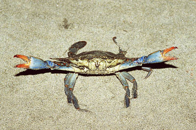 Blue Crab In Defensive Position Poster
