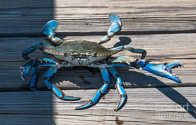 Blue Crab Pincher Poster