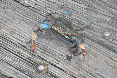 Blue Crab Poster
