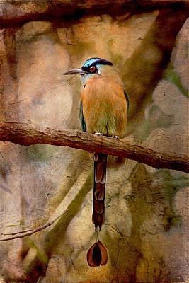 Blue Crowned Motmot Poster by Peggy Collins