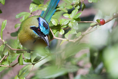 Poster featuring the photograph Blue-crowned Motmot by Rebecca Sherman