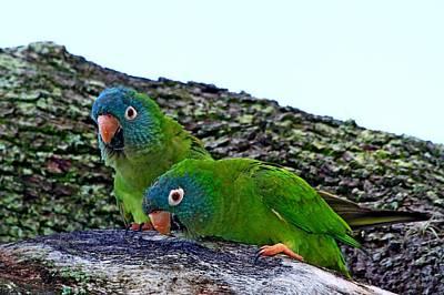 Blue-crowned Parakeet Pair Poster