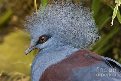 Poster featuring the photograph Blue-crowned Pigeon by David Millenheft