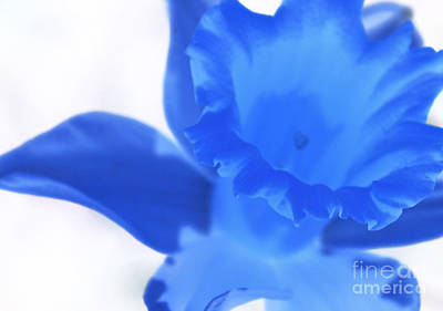 Poster featuring the photograph Blue Daffodil by Andy Prendy