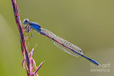 Blue Damsel Fly Poster by Todd Bielby