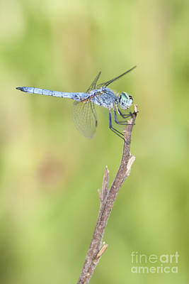Poster featuring the photograph Blue Dasher by Bryan Keil