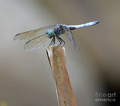 Poster featuring the photograph Blue Dasher by Randy Bodkins