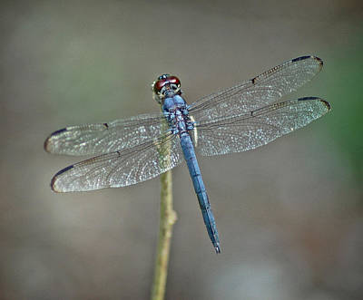 Poster featuring the photograph Blue Dragonfly II by Linda Brown