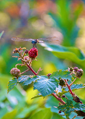 Blue Dragonfly On Berry Poster