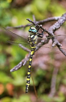 Blue-eyed Golden-ringed Dragonfly Poster