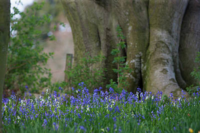 Blue Flowers Blossoming Hirsel Scottish Poster