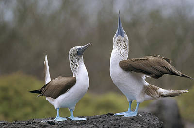 Blue-footed Boobies Courting Galapagos Poster by Tui De Roy