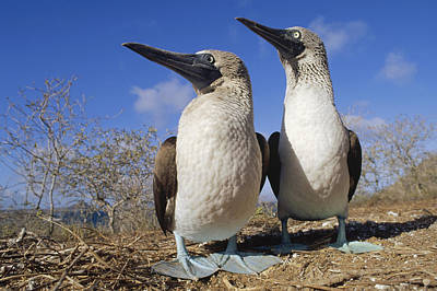 Blue-footed Booby Courting Couple Poster by Tui De Roy
