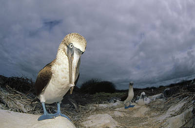 Blue-footed Booby Galapagos Islands Poster by Tui De Roy