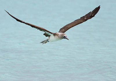 Blue-footed Booby In Flight Poster