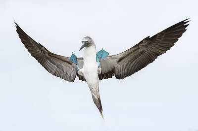 Blue-footed Booby Landing Galapagos Poster