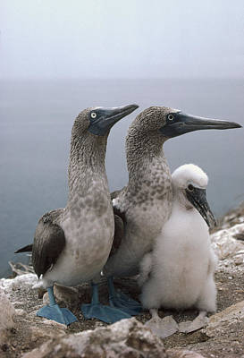 Blue-footed Booby Pair With Chick Poster by Tui De Roy