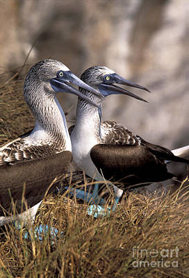 Blue-footed Booby Poster by Ron Sanford