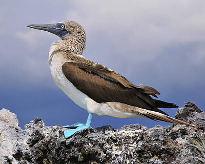 Blue-footed Booby Poster by Tony Beck