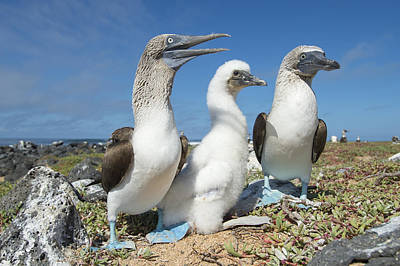 Blue-footed Booby With Chick At Nest Poster by Tui De Roy