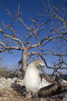 Blue-footed Booby With Chick Galapagos Poster by Tui De Roy