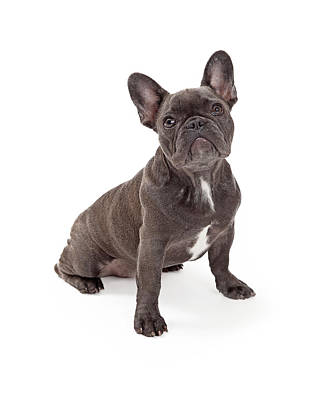 Blue French Bulldog  Poster by Susan Schmitz