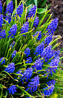 Blue Grape Hyacinth Poster