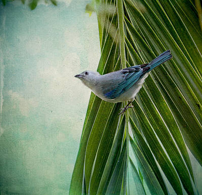 Blue Grey Tanager On A Palm Tree Poster