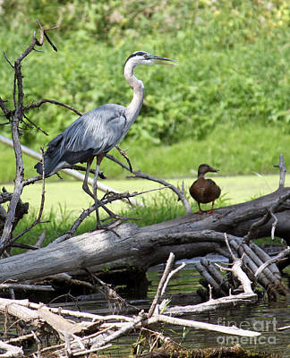 Blue Heron And Friend Poster by Debbie Hart