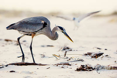 Blue Heron At The Beach Poster by Joan McCool