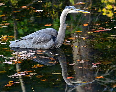 Blue Heron In Autumn Waters Poster by Frozen in Time Fine Art Photography