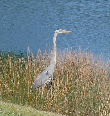 Poster featuring the photograph Blue Heron by Kristine Bogdanovich