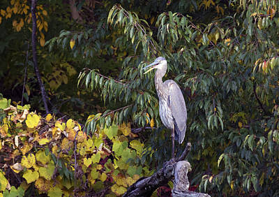 Blue Heron Perched In Tree Poster
