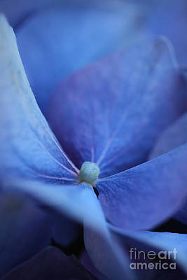 Blue Hydrangea 2 Poster