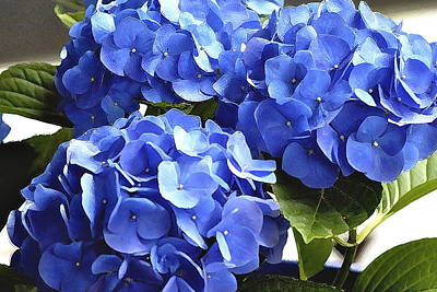 Blue Hydrangea Poster by Lehua Pekelo-Stearns