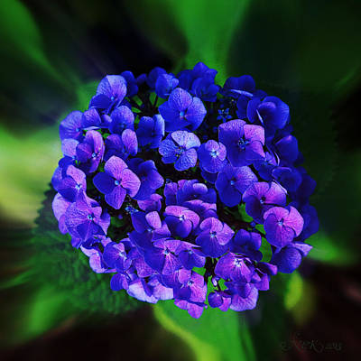Blue Hydrangea Poster by Nick Kloepping