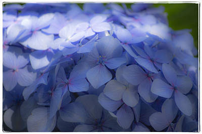 Poster featuring the photograph Blue Hydrangea One by Craig Perry-Ollila