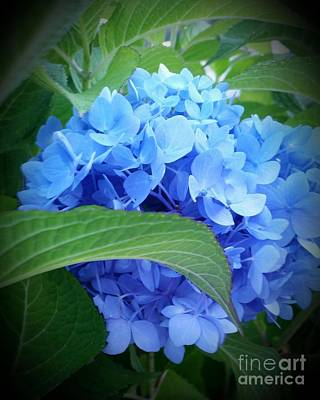 Blue Hydrangea Poster by Rose Wang
