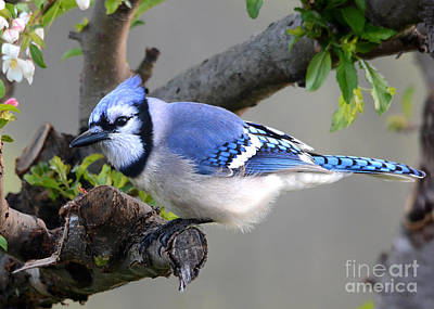 Blue Jay Beauty Poster