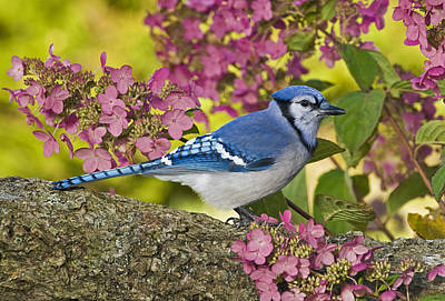 Blue Jay In Backyard Garden In Autumn Poster by Thomas Kitchin & Victoria Hurst